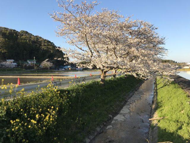 札森の桜並木